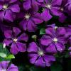 Этуаль Виолет