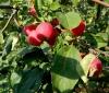 Алтайское багряное