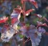 Береза повислая Пурпуреа