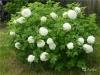 Калина декоративная Бульдонеж (Roseum)